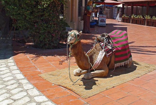 camel-431562_640